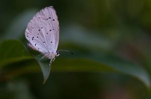 papillon_gauche
